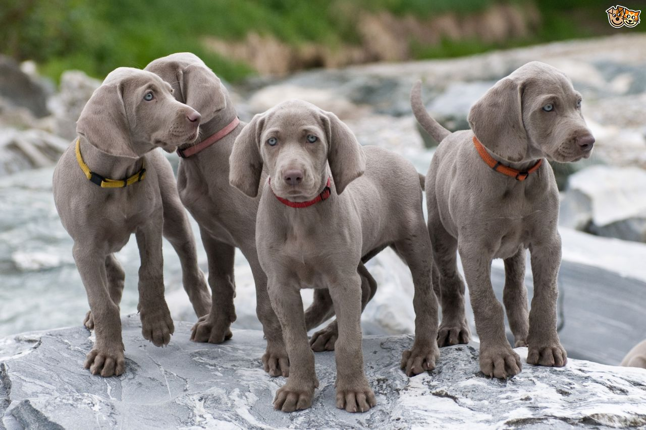 Pets Is A Weimaraner Dog The Right One For You What Should Name Him